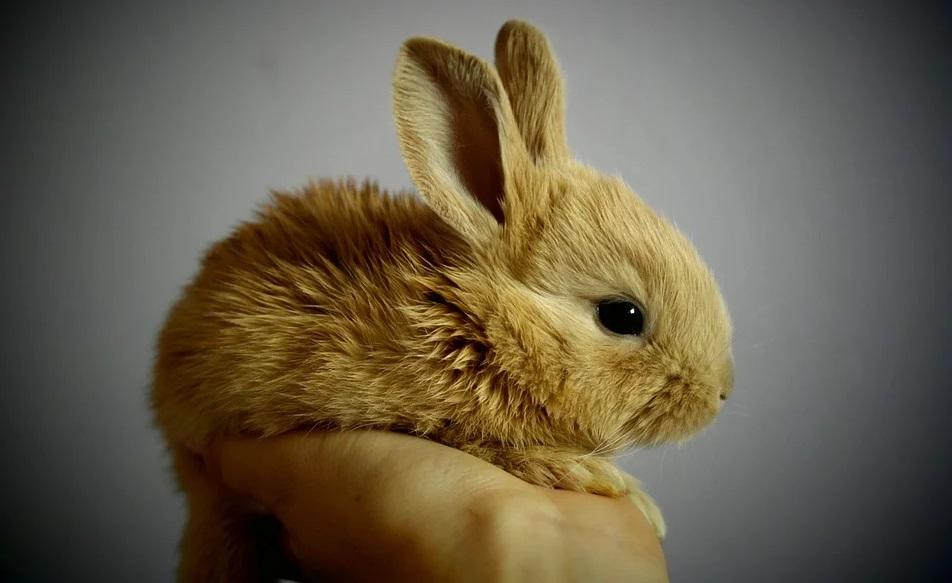 手乗りしている茶色い小さいウサギ